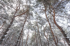 Tops of the trees. Tops of the pines in the winter forest Royalty Free Stock Photography