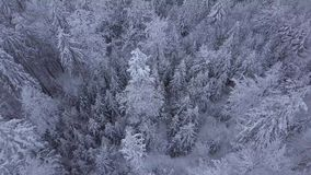 Tops of trees in snow. From above aerial view of silent woodland in Poland with beautiful tall coniferous trees in white snowy frost stock video
