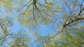 Tops of the trees in spring forest. Rotation of the sky. Tops of the trees in spring forest stock footage