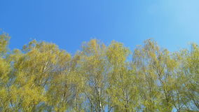 Tops of the trees in spring forest. Sunny weather. Vertical panning. stock video