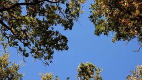 Tops of trees sways from the wind on blue sky. Tops of trees sways from the wind on the blue sky stock footage
