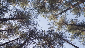 Tops of Trees. Trees weaving their tops at the wind stock footage