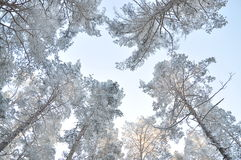 Tops of the trees in winter. cold. Russia Royalty Free Stock Photography