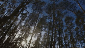 Tops of trees in winter forest. Tall pine trees stretch to sky. HD stock video footage