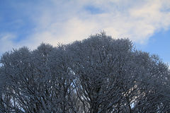 Tops of trees in winter. A shot of some snow covered top branches of trees against a semi-cloudy winter sky Stock Photo