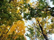 Tops of trees. With yellow and green leaves against the blue sky Royalty Free Stock Photos