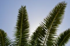 The tops of the trunks of beautiful tropical exotic palm trees with large green leaves against the blue sky.  royalty free stock photography