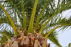 The tops of the trunks of beautiful tropical exotic palm trees with large green leaves against the blue sky.  royalty free stock photo