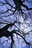The tops of two big oak trees. Royalty Free Stock Image