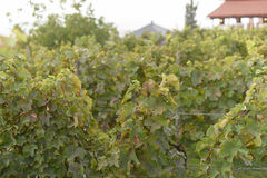 Tops of Vinery. Vinery tops at autumn vineyard Stock Images