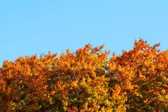 Tops of vivid coloured leaves on autumn trees with clear blue sky space for text above. Autumn background.  stock images
