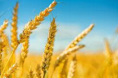 Tops of wheat Stock Photos