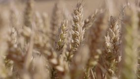 Tops of a wheat in a field. stock footage