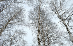 Tops of white birches against winter sky Royalty Free Stock Photos