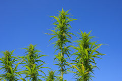 Tops of Wild Hemp Plants. Image shows the multiple tops of a single hemp plant grown in the wild from seeds fed to birds Stock Photo