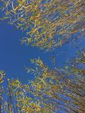 Tops of Willow Trees at Tree Farm. In rows, planted in pots, fall colors, yellow leaves royalty free stock photography