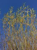 Tops of Willow Trees at Tree Farm. In rows, planted in pots, fall colors, yellow leaves stock photos