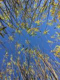 Tops of Willow Trees at Tree Farm. In rows, planted in pots, fall colors, yellow leaves royalty free stock image