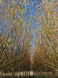 Tops of Willow Trees at Tree Farm. In rows, planted in pots, fall colors, yellow leaves stock image