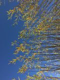 Tops of Willow Trees at Tree Farm. In rows, planted in pots, fall colors, yellow leaves stock photo