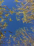 Tops of Willow Trees at Tree Farm. In rows, planted in pots, fall colors, yellow leaves royalty free stock images
