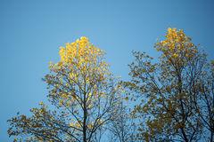 Tops of yellow maple trees. Photo low angle view of top branches of maple trees with beautiful sun-illuminated autumn yellow leaves heavy foliage over bright royalty free stock image