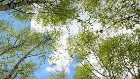 Tops of young birches in the spring. Young birch grove in an early spring stock footage