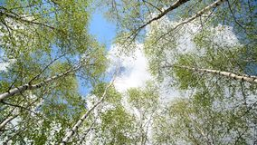 Tops of young birches in the spring. Young birch grove in an early spring stock video footage