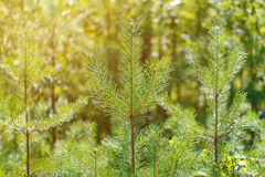 The tops of young pine trees in the sunset light. Royalty Free Stock Image