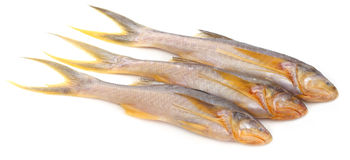 Topse fish of Indian subcontinent Stock Image