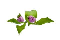Topshot av tulpan Royaltyfria Bilder