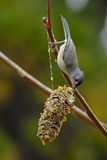 Topsy Turvey. Tufted Titmouse feeding on seeds Royalty Free Stock Photography