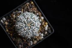 Topview кактуса Стоковая Фотография
