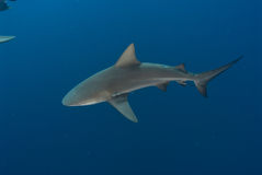 Topview of a bull shark. The topview of a bull shark swimming along, Mozambique Stock Photo