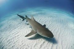 Topview de um tubarão de limão imagem de stock