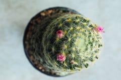Topview del cactus Imagenes de archivo