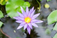 Topview del fiore di loto Fotografie Stock Libere da Diritti