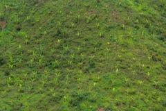 Topview della banana di crescita sulla collina Fotografia Stock Libera da Diritti