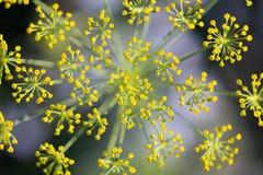 Topview, fleurs fraîches d'aneth, usine de graveolens d'anethum à l'apogée photos stock