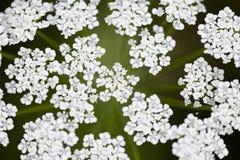 Topview, frische Dillblüten, Anethum graveolens Anlage an der Blütezeit stockfotografie