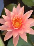 Topview lotusblommarosa färger Arkivfoto