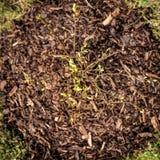 Topview, palha de canteiro da casca em torno de um arbusto de mirtilo pequeno no jardim Fotografia de Stock
