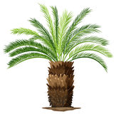 A topview of a sago palm plant Royalty Free Stock Photography