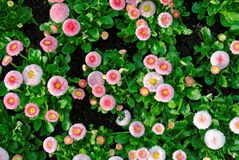 English daisies Pomponette mix in flowerbed topview royalty free stock photos