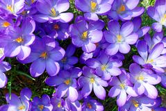 Violet Crocus bloom brightly in sunlight royalty free stock images