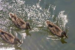Topview of swimming ducks Royalty Free Stock Photo