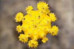 Topview van mihanovichii van cactusgymnocalycium of maancactus, gele bloesem royalty-vrije stock foto's