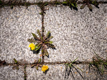 Topview of weed sprouting through flagging. Photo shows a dandelion with yellow flower growing on a driveway or patio Stock Photography