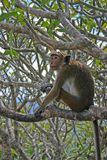 Toque-Affe, der im Baum stillsteht Stockbilder