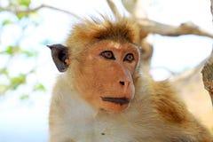 Toque de Aap van Macaque, Sri Lanka Stock Fotografie